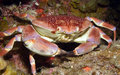 Batwing coral crab Royalty Free Stock Photo