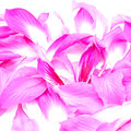 Bauhinia beautiful pink flower petals of purpurea isolated on a white background Royalty Free Stock Photos