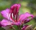 Bauhinia purpurea Royalty Free Stock Photo