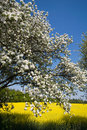 Bavaria,Blossoming cherry tree and rape-seed field Royalty Free Stock Photo