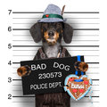 Bavarian beer dog mugshot Royalty Free Stock Photo