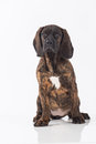 Bavarian mountain hound Royalty Free Stock Image