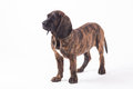 Bavarian mountain hound Royalty Free Stock Photography