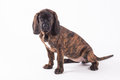 Bavarian mountain hound Stock Photos