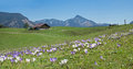 Bavarian springtime landscape with alpine cabin and crocus flowe Royalty Free Stock Photo
