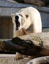 Bawling polar bear Royalty Free Stock Images