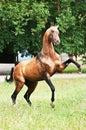 Bay akhal-teke horse rearing Stock Photos