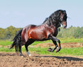 Bay andalusian horse stallion Royalty Free Stock Image