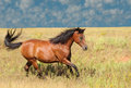Bay Arabian horse cantering Stock Photos