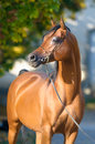 Bay arabian horse portrait in autumn Royalty Free Stock Photos