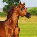 Bay arabian horse runs gallop Stock Photo