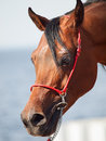 Bay arabian stallion portrait close up outdoor Royalty Free Stock Photography