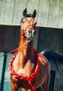 Bay arabian stallion portrait on the granite wall background Royalty Free Stock Photo