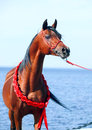 Bay arabian stallion portrait on the sea background outdoor Stock Image