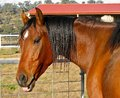 A bay australian stock horse an stockhorse showing that he has sense of humor Stock Photos