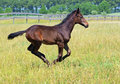 A bay foal galloping Royalty Free Stock Photo
