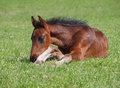 A bay foal has a rest lies on grass Royalty Free Stock Photo