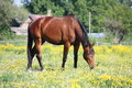 Bay horse eating grass in summer Royalty Free Stock Photo