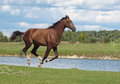 A bay horse galloping on background the river and cloudy sky Stock Image