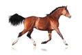 Bay horse isolated Royalty Free Stock Photo