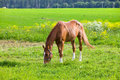 Bay horse on a meadow Royalty Free Stock Image