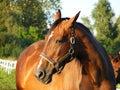 Bay horse portrait Royalty Free Stock Image