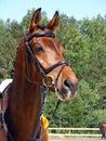 Bay horse portrait Stock Images