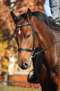 Bay horse portrait in autumn sport Royalty Free Stock Photography