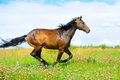 Bay horse runs gallop on the meadow in summer Stock Image