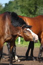 Bay horse shaking its mane Royalty Free Stock Photo