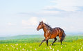 Bay horse skips on a meadow against mountains Stock Photo