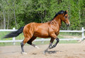 Bay horse of Ukrainian riding breed Royalty Free Stock Photography