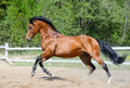 Bay horse of Ukrainian riding breed in motion Royalty Free Stock Photos