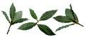 Bay laurel leaves set of sweet laurus nobilis grecian fresh infinite depth of field clipping paths Royalty Free Stock Image