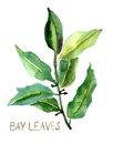 Bay leaves Royalty Free Stock Image