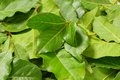 Bay leaves fresh background close up Stock Photography