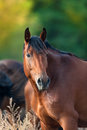Bay mare portrait outdoor Royalty Free Stock Photo