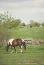 Bay tobiano mare grazing Royalty Free Stock Photo