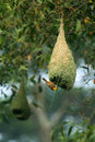 Baya weaver bird building nest during breeding season Stock Images