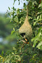 Baya weaver bird building nest during breeding season Royalty Free Stock Images
