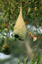 Baya weaver bird building nest during breeding season Stock Photos