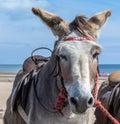 Beach Donkey