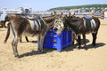 Beach donkeys resting and having a meal break on weston super mare the are a popular attraction in the resort giving Royalty Free Stock Photography