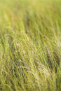 Beach grass. Stock Photo