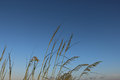 Beach Grass Reeds Royalty Free Stock Photo