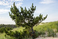 Beach pine tree natural barrier Royalty Free Stock Photo
