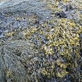 Beach Sea Weed in many earthy green colors