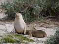 The beach of seal bay australian sea lion neophoca cinerea with a young one on kangaroo island in australia Royalty Free Stock Images