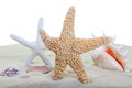 Beach sealife starfish and shells on sand with a white background focus on the front starfish Stock Image