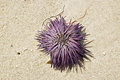 Beached fresh purple sea urchin drying up on sand urchins or urchins are small spiny globular animals that with their close Royalty Free Stock Photography